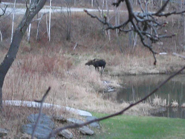 Moose at West Hill House - the movie! 2