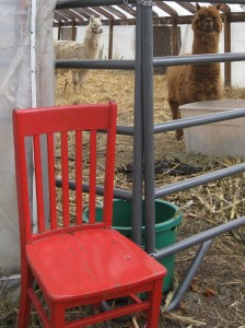 The Red Chair visits the Alpacas at Hartshorn's Farm in Waitsfield Vermont