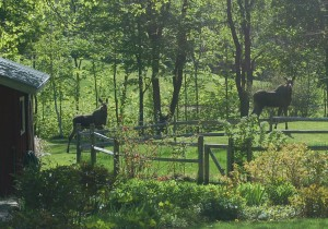 Moose visiting West Hill House, Warren, VT