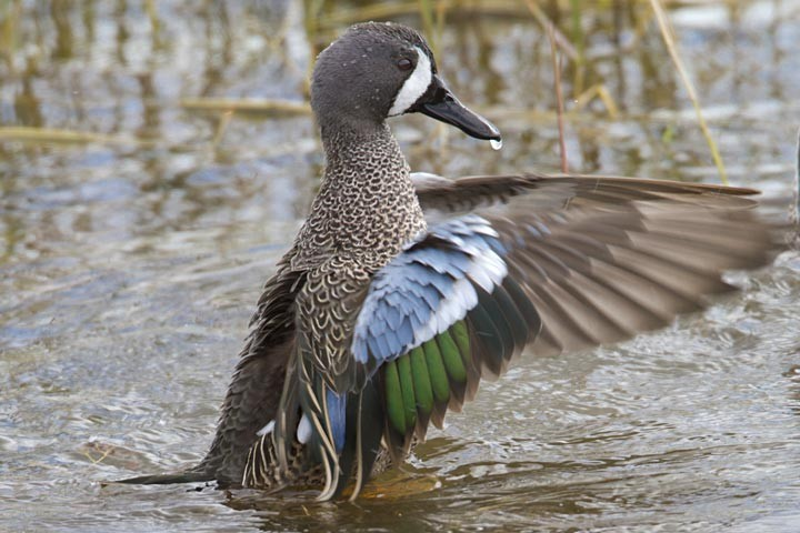 Springtime In Vermont - Blue Winged Teal