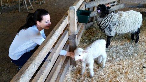 Baby sheep at Shelburne Farms