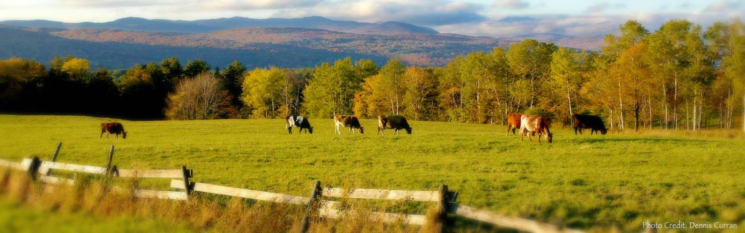 Cows grazing in Vermont