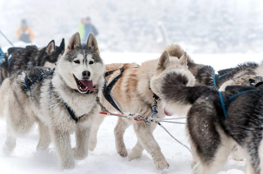Vermont Dog Sledding Tours In The Mad River Valley