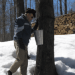 Sap collection for sugaring.